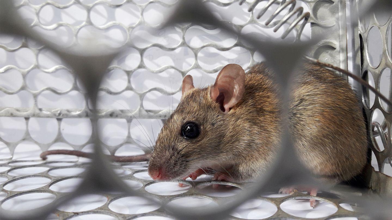 Hantavirus-Erkrankung: Eine Maus sitzt in einem Käfig aus Metall.