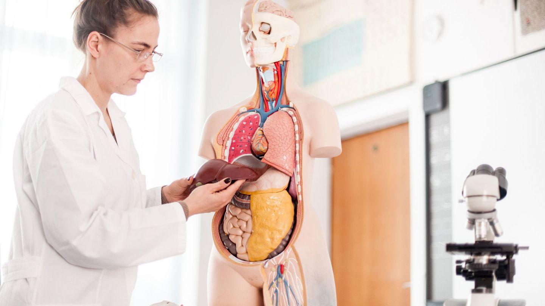 Leberkrebs: Eine Ärztin steht vor einem Anatomiemodell des menschlichen Körpers. Sie hat die Leber aus dem Modell genommen und hält das Organ in beiden Händen.