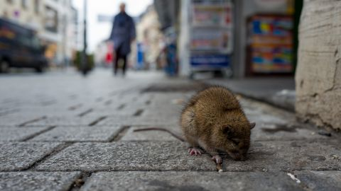 Beulenpest: Eine Ratte sucht auf einer gepflasterten Straße nach Futter.