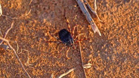 Eine Hyalomma-Zecke läuft über einen hellbraunen Sandboden.