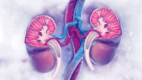 Der Querschnitt einer menschlichen Niere. Das Gewebe besteht aus einer rotbraunen Rinde und dem Nierenmark. Das Mark besteht aus pyramideförmigen Untereinheiten. In jeder dieser Pyramiden verläuft eine Vielzahl von Harnkanälchen aus den Nierenkörperchen.